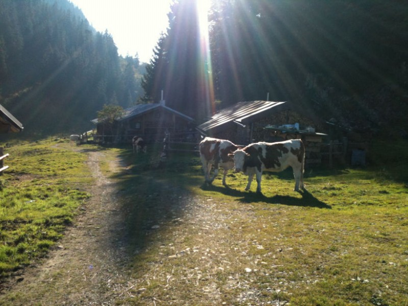 kühe auf der laubensteinalm
